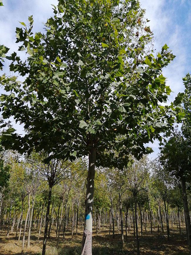 法桐大树怎样修剪造型?法桐种植技术介绍