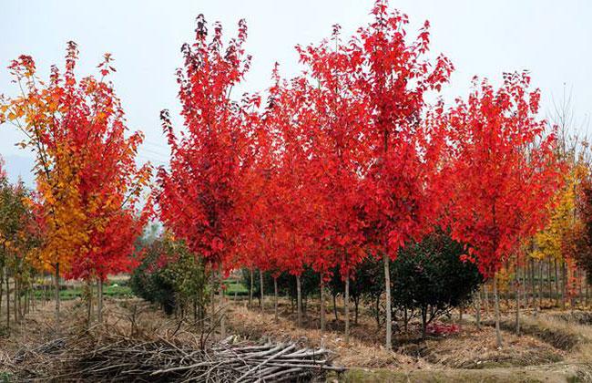 美国红枫多少钱一棵?2020年美国红枫价格最新行情预测
