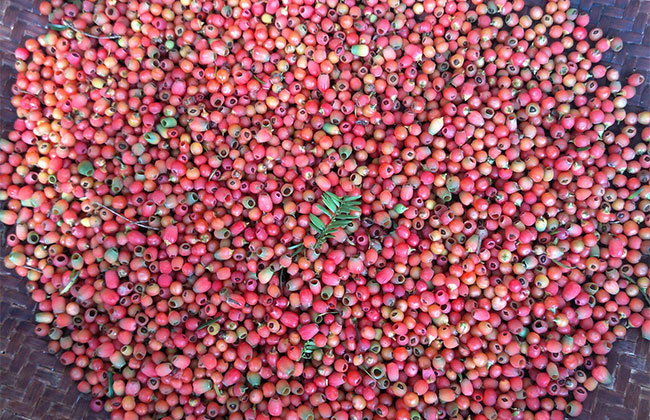 红豆杉多少钱一棵?2020年红豆杉价格最新行情预测