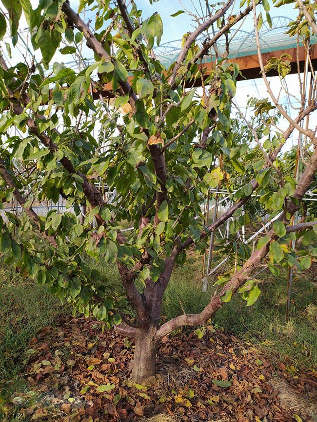 樱桃树多少钱一棵?2020年樱桃树价格最新行情预测