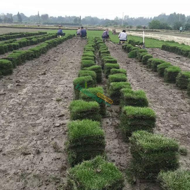 庭院草坪如何种植?草坪种植与养护管理