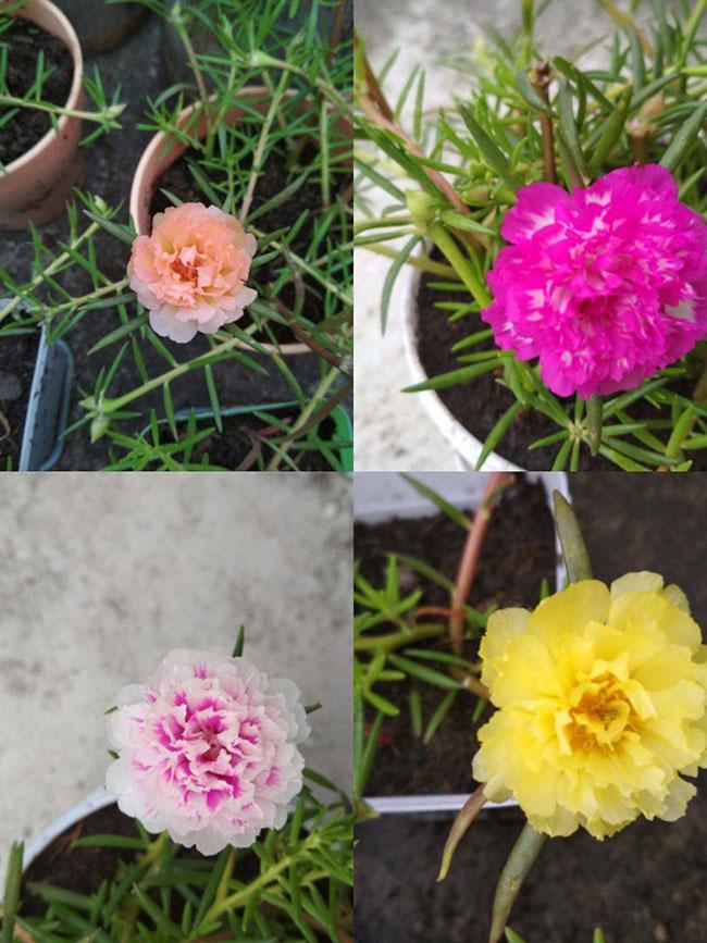 太阳花花籽怎么种?太阳花种植方法和时间