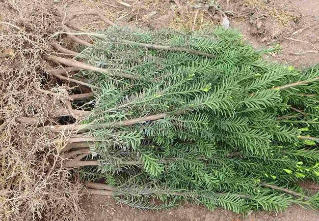 红豆杉苗怎么种植?红豆杉种植技术与管理方法