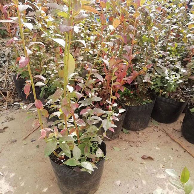 蓝梅种植适合什么温度?蓝莓什么时间种植?