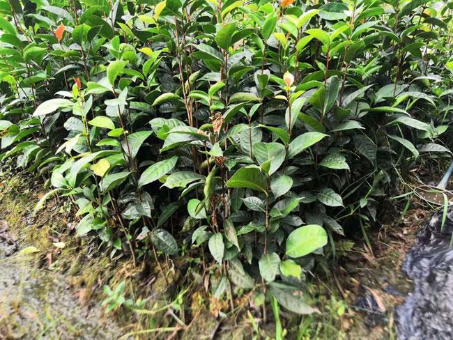 油茶树种植方法介绍 茶油树种植前景如何?