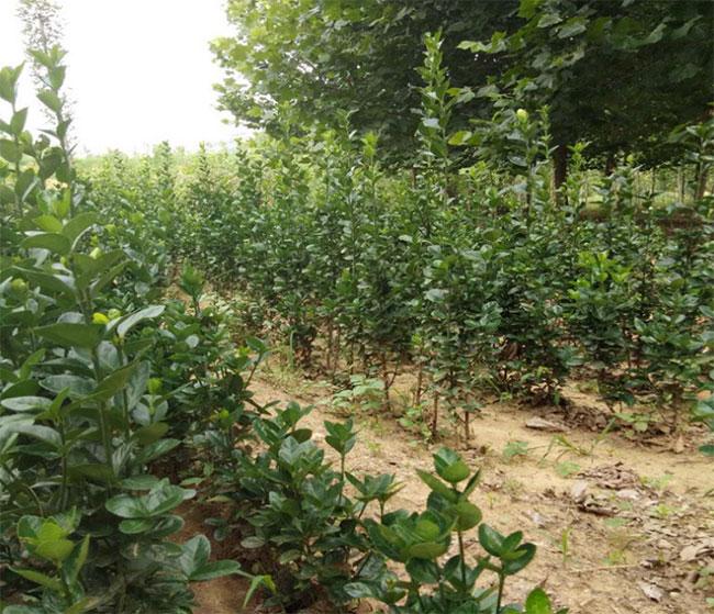 安徽:构树扶贫 绿满田畴地生金