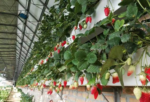 立体种植草莓靠谱吗?草莓立体种植技术