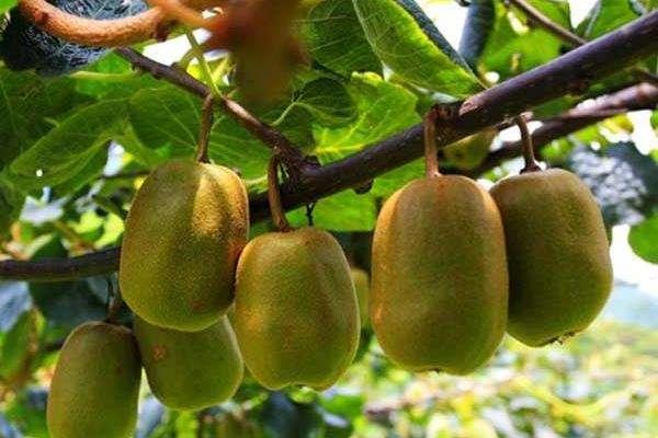 红心猕猴桃几月种植?红心猕猴桃种植技术