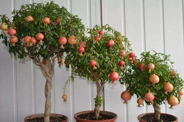 盆栽石榴如何种植?盆栽石榴的种植方法