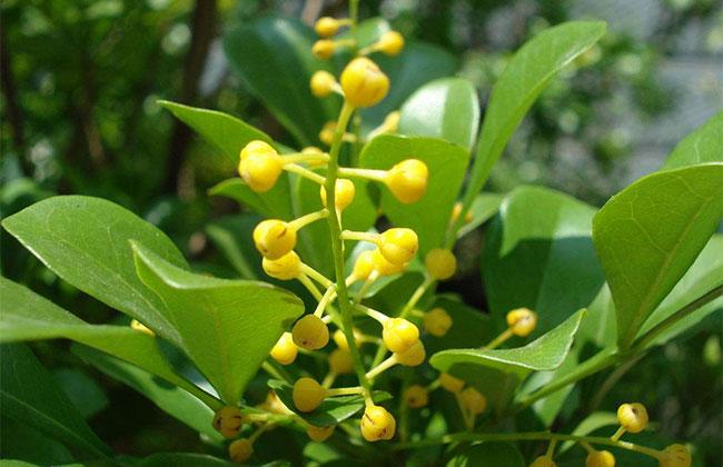 米兰花四季开花的养护方法