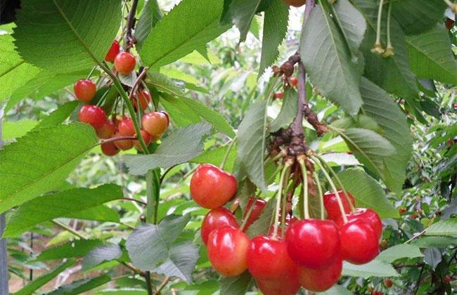 如何种植樱桃树苗?樱桃苗种植技术