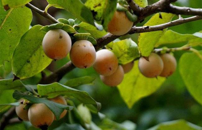 软枣树苗怎么种?种植枣树苗时间和方法