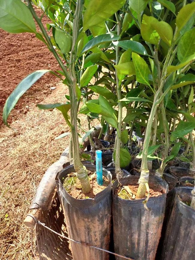 如何种柑橘苗?柑桔高产栽培技术