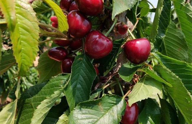 樱桃树苗几月份种植?樱桃苗种植方法