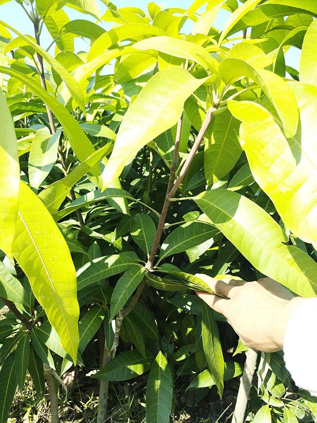芒果苗什么时候栽种?芒果苗种植 技术实现