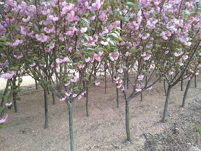 樱花树苗几月份种植?樱花苗种植方法