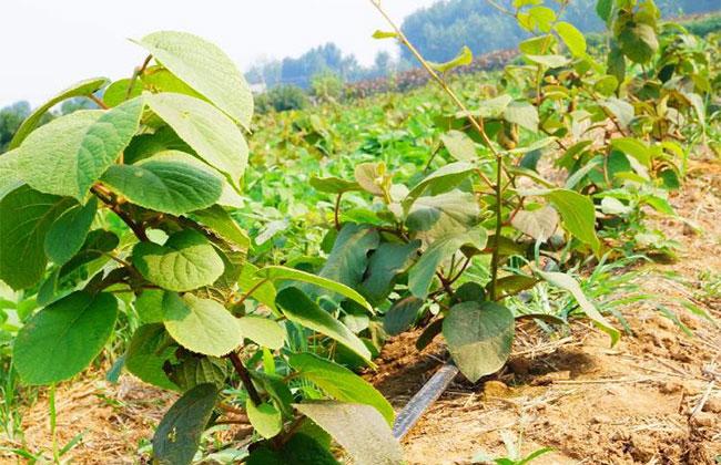 猕猴桃苗种植有什么要求?猕猴桃苗种植方法
