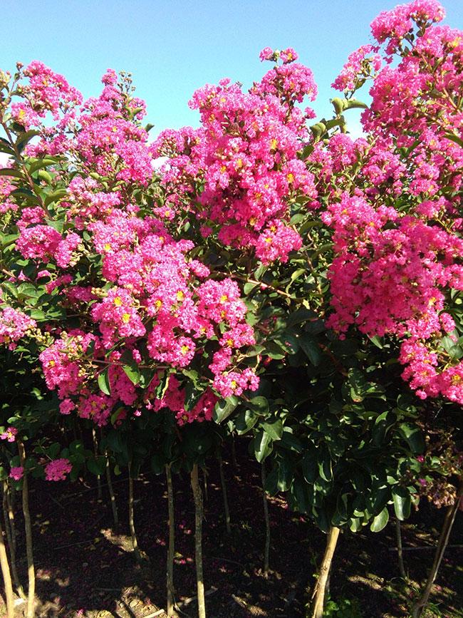 紫薇树多少钱一棵?2020年紫薇树价格最新行情预测