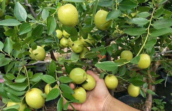 什么时候种枣树苗?枣树苗种植技术方法