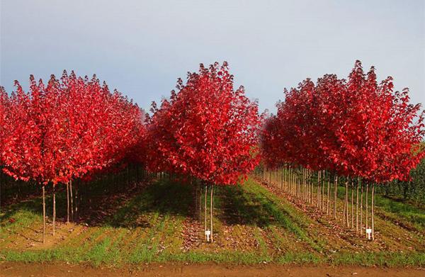 红枫多少钱一棵?2020年红枫价格最新行情预测
