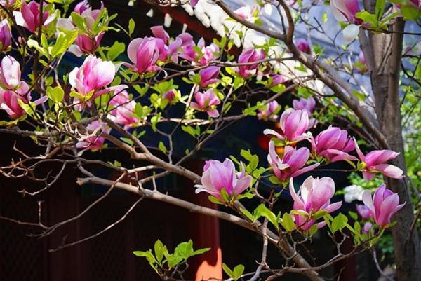 红玉兰树多少钱一棵?2020年红玉兰树价格最新行情预测