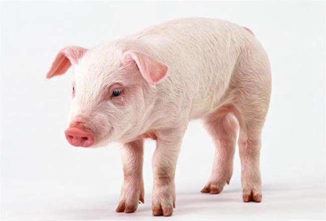 估计2020猪价会是多少?春节期间猪肉价格预测