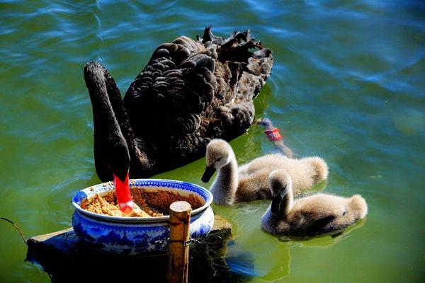 圆明园喜添6只黑天鹅小宝宝,圆明园黑天鹅宝宝长什么样?