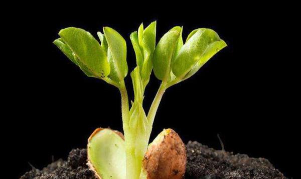如何种植花生苗?花生苗的种植技术方法