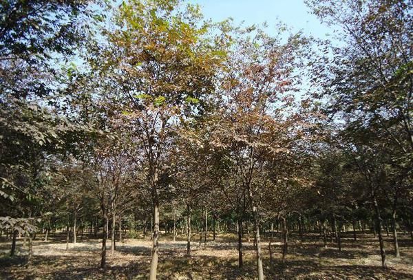 红榉树多少钱一棵?2020年红榉树价格最新行情预测