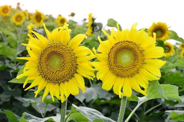 油葵一年能种几次?油葵芽苗菜种植技术