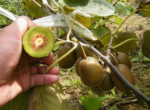庭院种猕猴桃树好吗?院子可以种猕猴桃吗