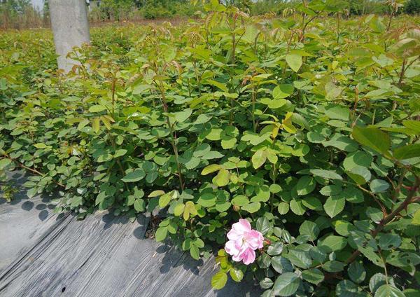 月季花幼苗怎样栽培?月季苗种植方法