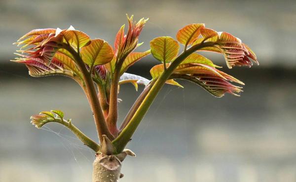 香椿苗几月播种?香椿移栽时间