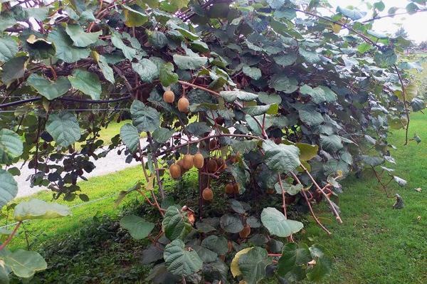 猕猴桃树苗什么时候种植最好?猕猴桃树苗种植方法
