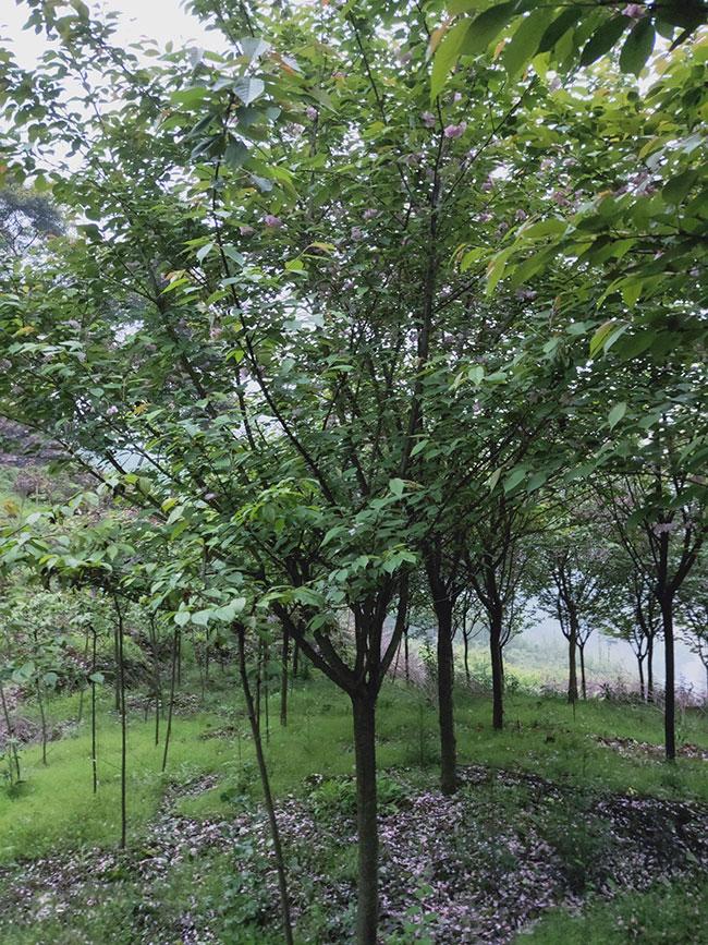 樱花树如何种植?樱花树苗种植方法
