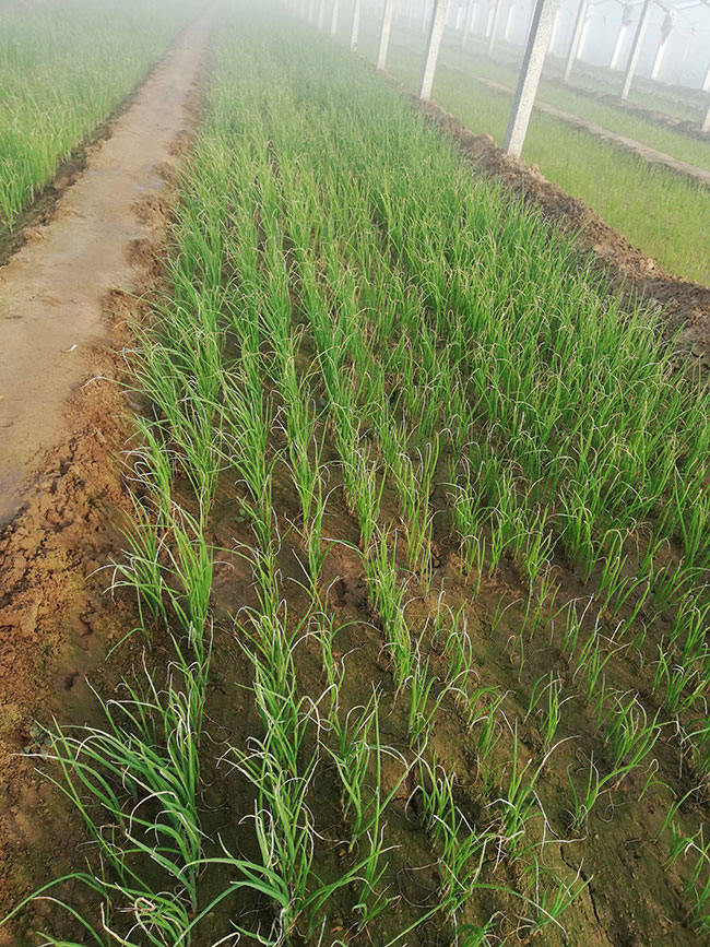 大葱移栽后怎样浇水?葱苗种植方法