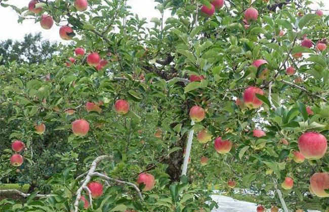 怎样栽苹果树苗?苹果苗种植技术