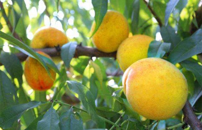 黄桃树苗什么品种最好?黄桃苗种植几年结果?