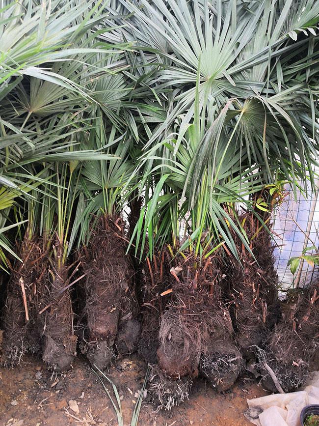 棕榈树多少钱一棵?2020年棕榈树价格最新行情预测