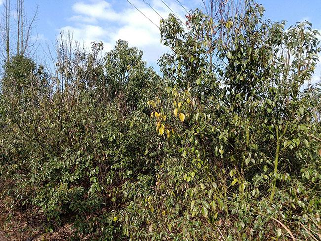 龙脑樟树适合哪些地方种植?龙脑樟树苗种植方法