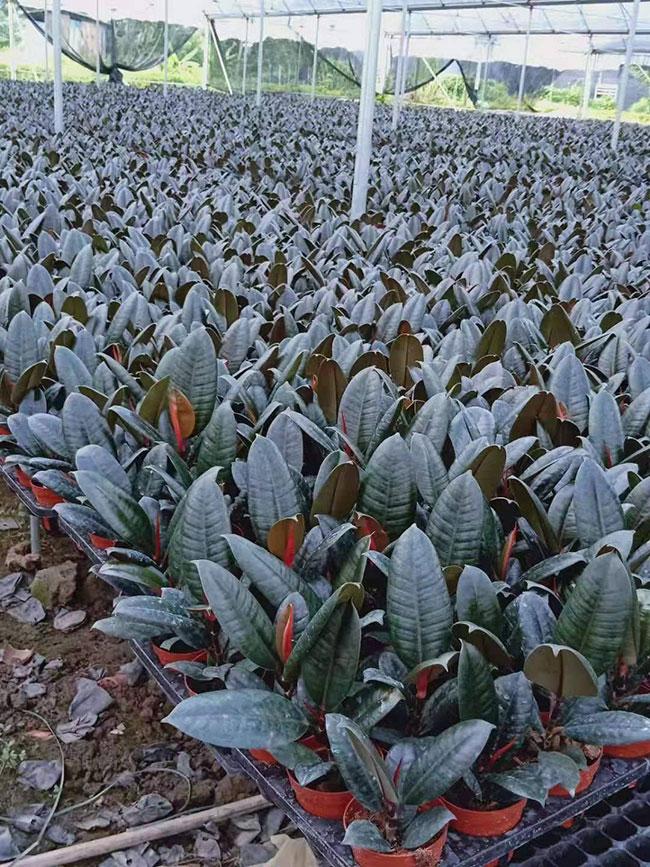橡皮树怎么繁殖?橡皮树的繁殖方法