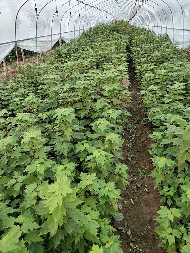红枫多少钱一棵?2020年枫树苗价格最新行情预测