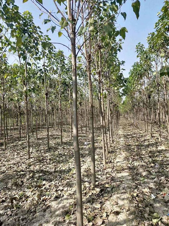 楸树多少钱一棵?2020年楸树价格最新行情预测