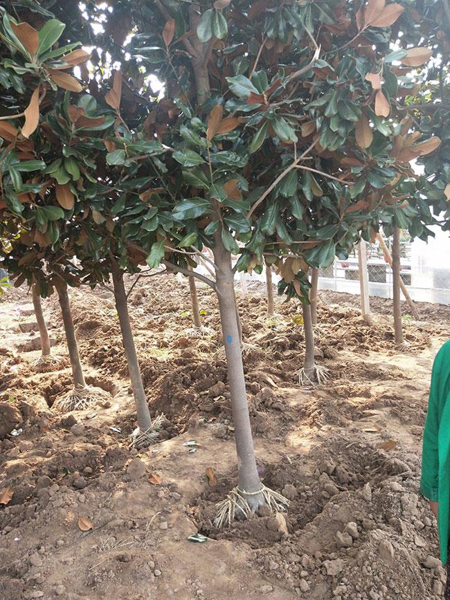 广玉兰树多少钱一棵?2020年广玉兰树价格最新行情预测