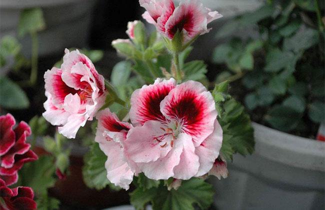 天竺葵种子什么时候种?天竺葵种子种植方法