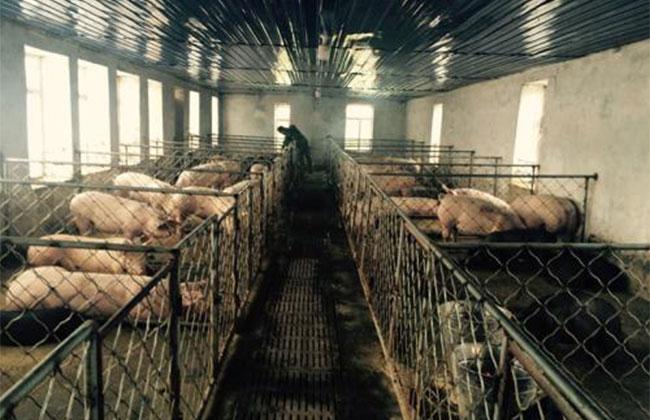 2020年养猪有哪些补贴?农村这四种养殖场将会被拆除,有你家吗