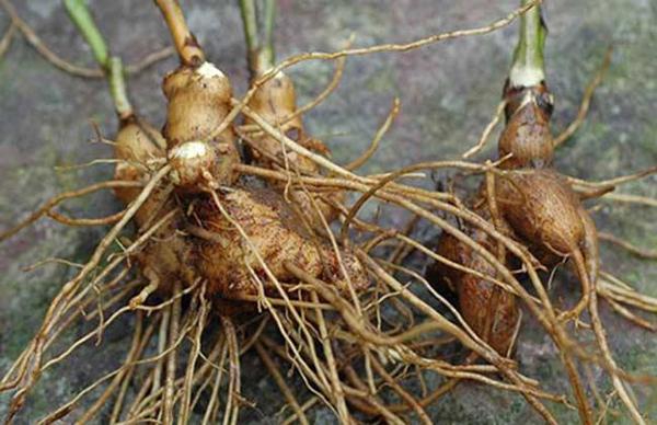 白术种子多少钱一斤?白术种植 技术实现