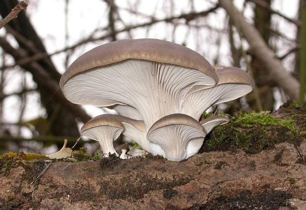 凤尾菇在家怎么种植?凤尾菇栽培技术