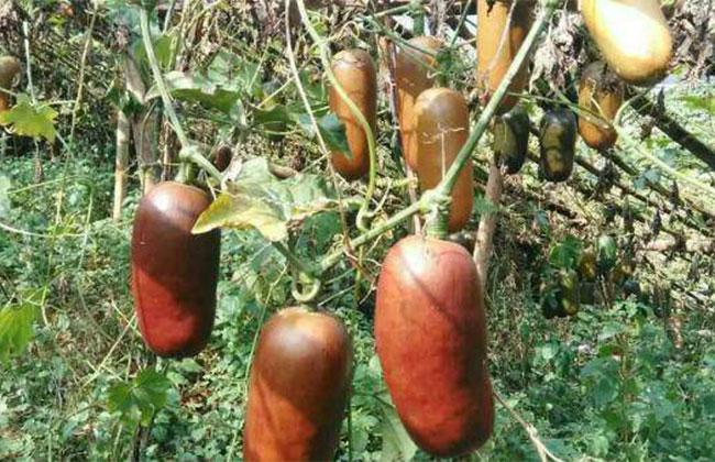 香茹蜜种植前景怎么样?香茹蜜多少钱一斤?