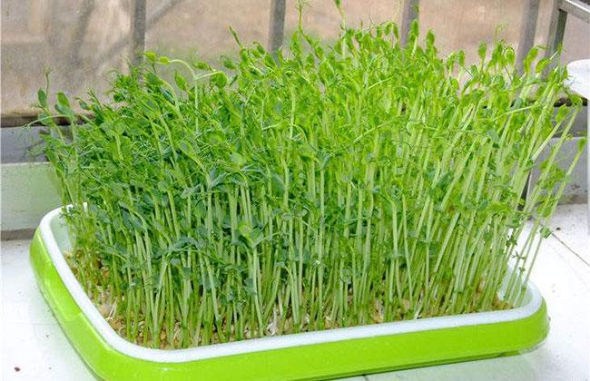 家庭怎么种芽苗菜?芽苗菜种植方法